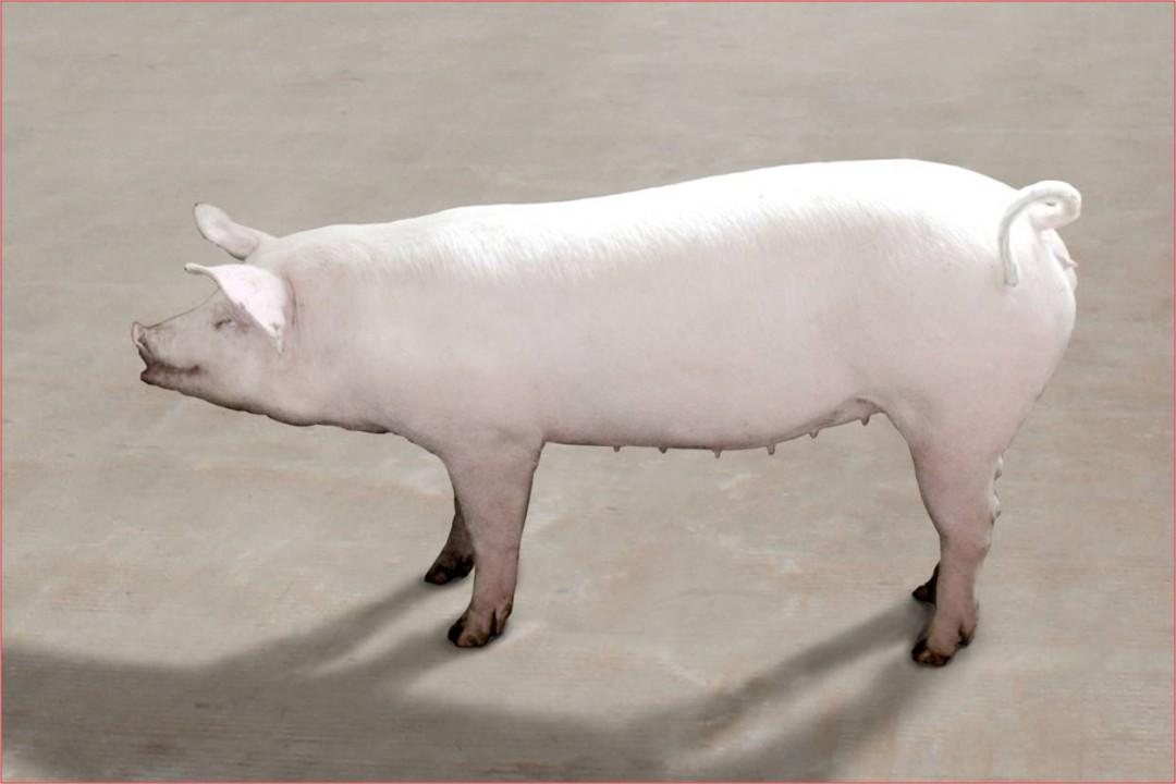 养猪预混料配方 了解一下图片