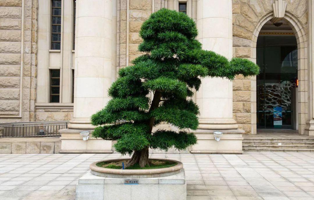 罗汉松和松树的区别 罗汉松与松树有什么不一样图片
