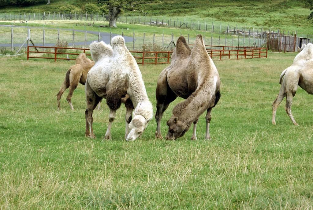 骆驼的驼峰里储存的主要是什么 骆驼的驼峰里储存的主要内容简述图片