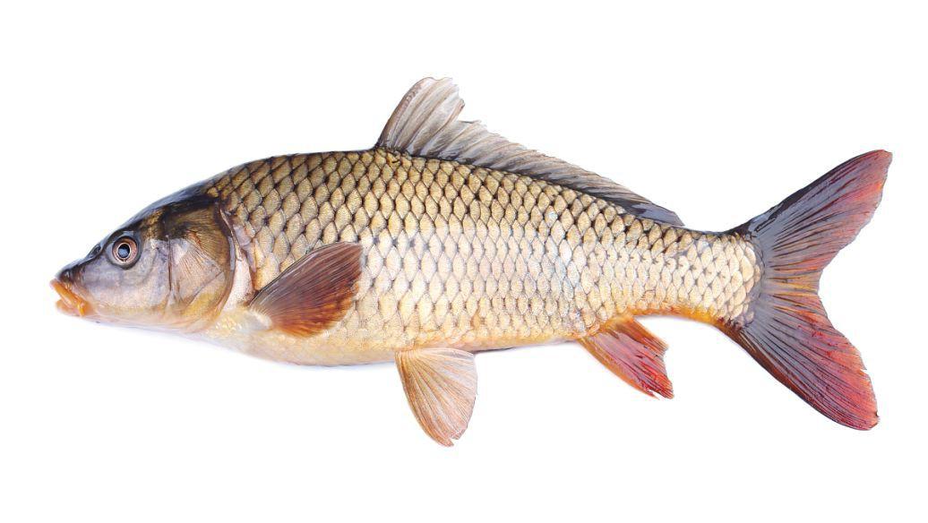 草鱼怎么做才好吃 简介草鱼怎么做才好吃图片