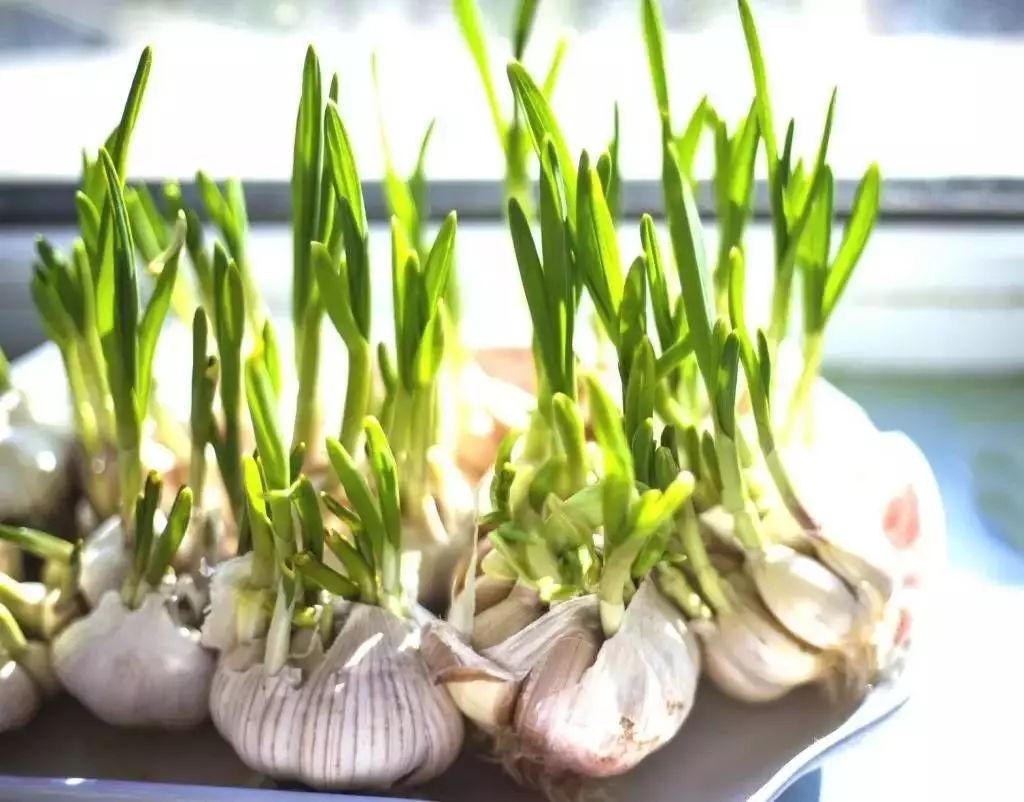 发芽了的大蒜还能不能吃 发芽了的大蒜还能吃吗图片