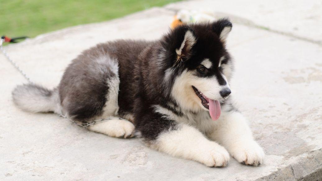 狗狗品种大犬介绍 大犬品种介绍图片