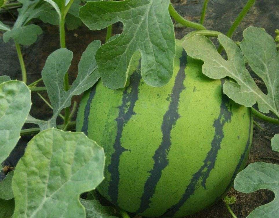 西瓜底肥上什么肥料好 看完你就知道了图片