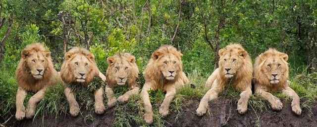 狮子是哪个国家的国宝,对于狮子是什么国家的国宝的要点