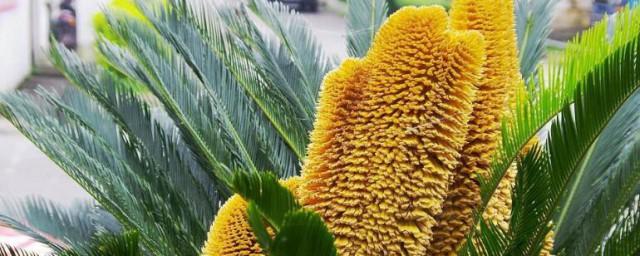 算命说铁树开花的意思解释,理解算命说铁树开花的含义