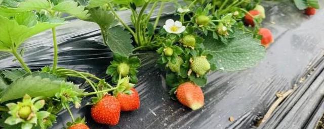 家里种草莓注意什么如何,家里种草莓注意什么可以吗