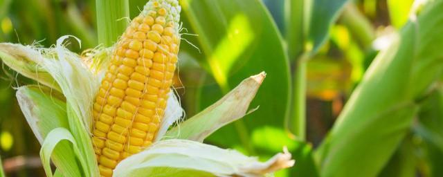 玉米种子什么品种好;对于什么品种玉米种子好介绍