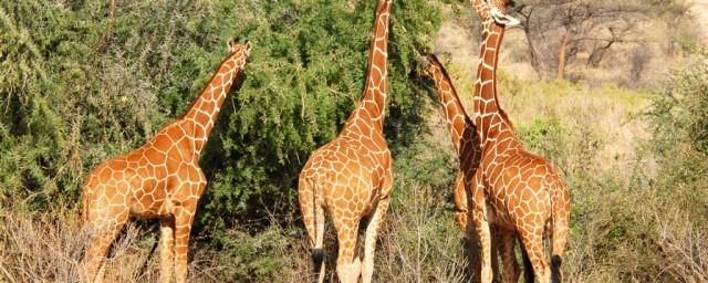 长颈鹿吃什么树叶,原来长颈鹿是吃什么树叶的