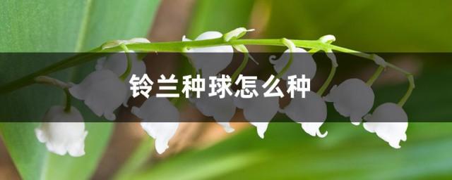 铃兰种球怎么种,原来铃兰种球的种植办法