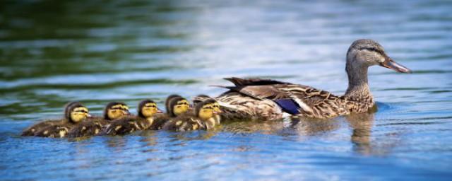 青头鸭的种类属性你了解吗?