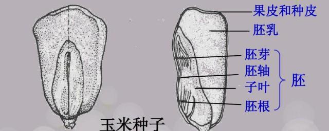 胚乳和子叶的不同怎样,胚乳和子叶的不同是啥好吗