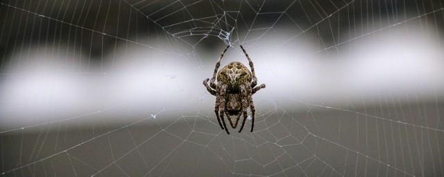 关于大腹园蛛有毒吗你了解吗?